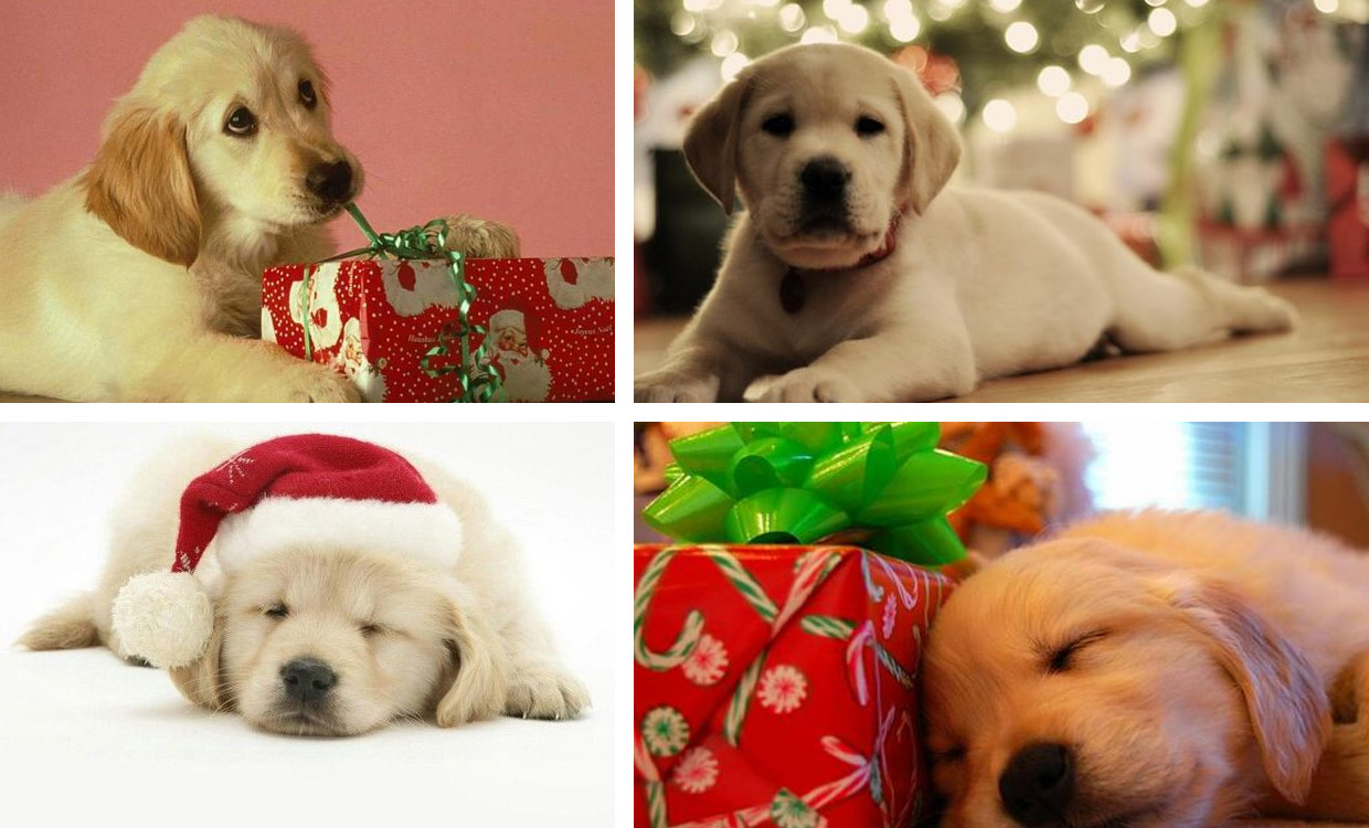 Green Design Landscape Architecture_ Christmas and Golden Retrievers_04