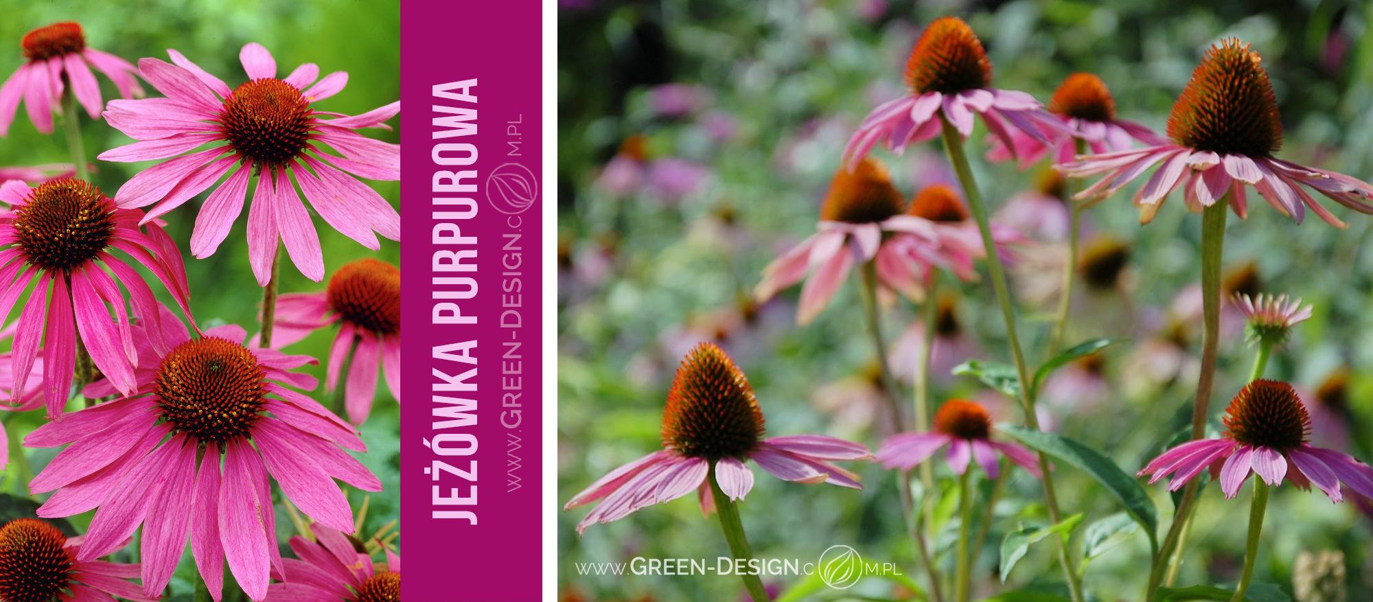 Green-Design-Blog_jeżówka_cover_photo_1