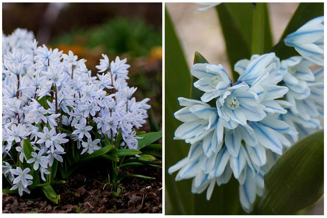 green-design-blog_cebule-kwiatowe-13