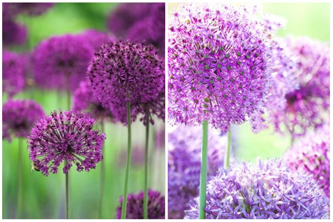 green-design-blog_cebule-kwiatowe-14