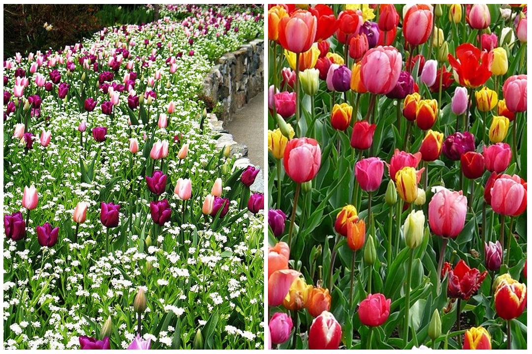 green-design-blog_cebule-kwiatowe-16