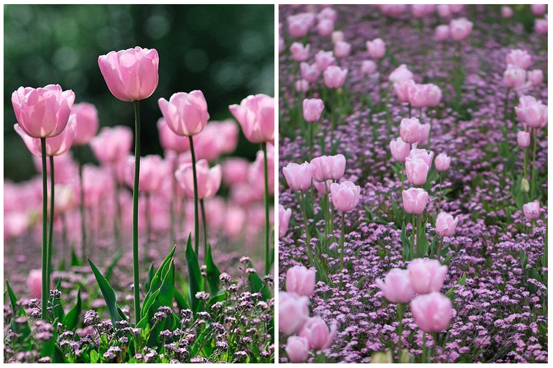 green-design-blog_cebule-kwiatowe-28