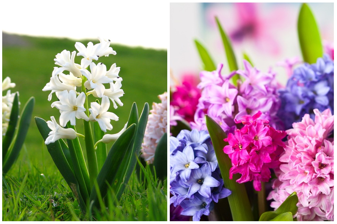 green-design-blog_cebule-kwiatowe-8