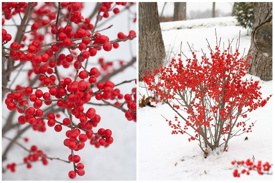 rośliny atrakcyjne zimą
