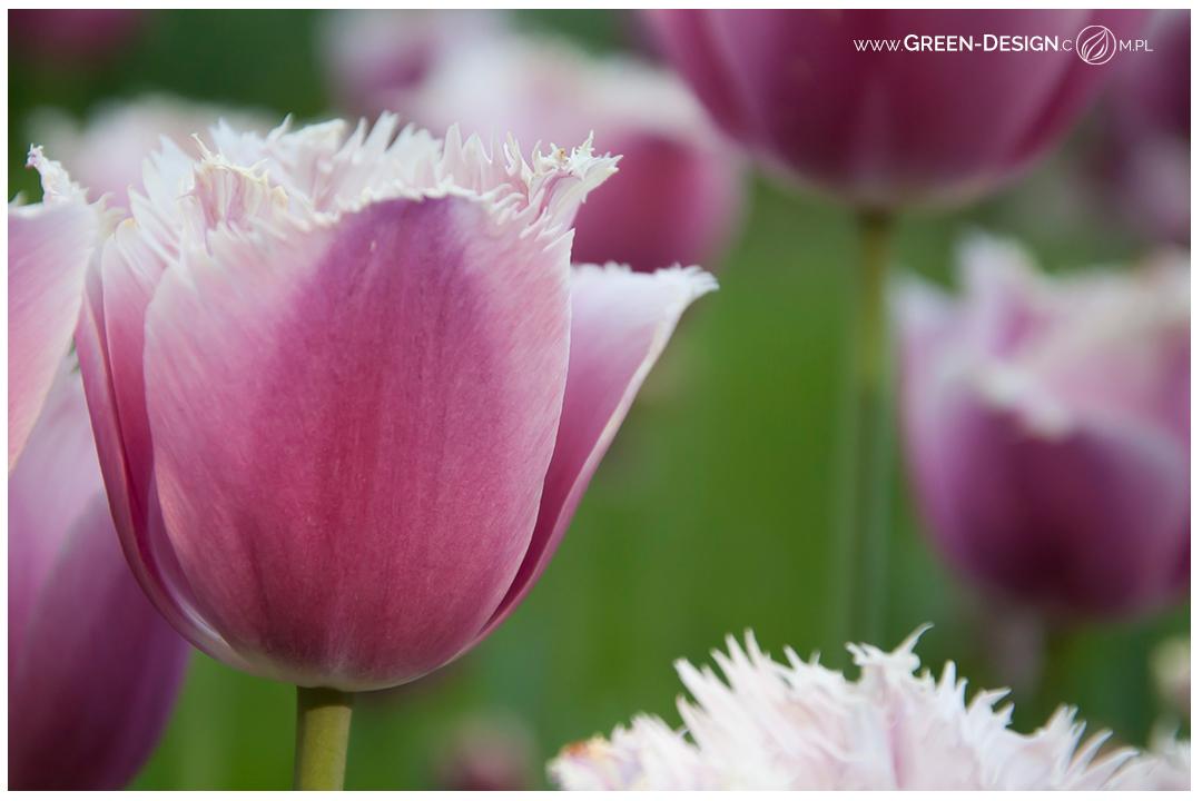 tulipany w Białymstoku